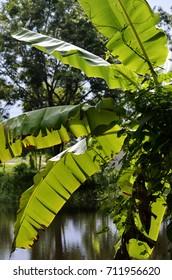 Beautiful green banana leaf on background.