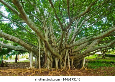 Beautiful green banyan tree near crystal cave Bermuda