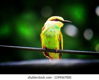 The beautiful green bee-eater bird (Merops orientalis) (sometimes little green bee-eater) is a near passerine bird in the bee-eater family.