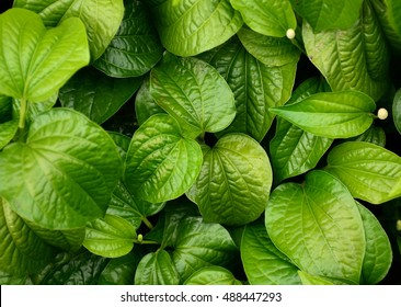 beautiful green betel leaves texture background