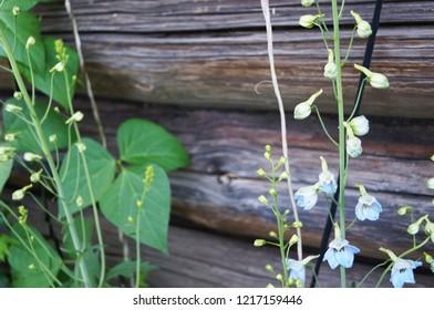 Beautiful green bindweed on a log background
