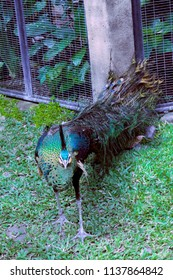 Beautiful Green Bird Peacock or Peafowl in the Garden Animals at Gianyar Bali