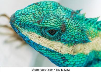 Beautiful Green with Blue color lizard, tree lizard : EYE and Skin Macro image