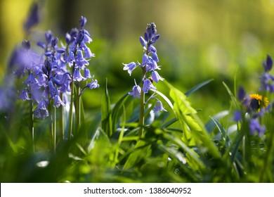 Beautiful green and blue ina hyacinth garden