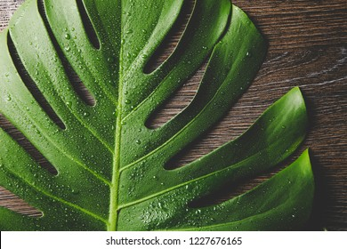 Beautiful green bright Monstera deliciosa leaf( also known as Swiss cheese plant) with water drops indoors, contrast light, dark brown wooden background. Copy space.