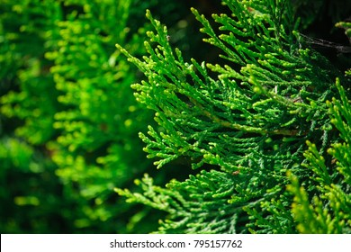 Beautiful green christmas leaves of Thuja trees. Thuja twig, Thuja occidentalis is an evergreen coniferous tree. Platycladus orientalis (also known as Chinese thuja, Oriental arborvitae.