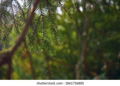 The Beautiful green christmas tree. macro shooting