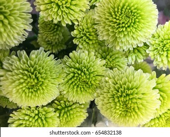 Beautiful green chrysanthemum as background picture. Chrysanthemum wallpaper, chrysanthemums in autumn.