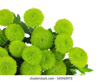 Beautiful green chrysanthemum isolated on white
