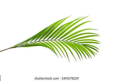 Beautiful green coconut leaf isolated on white background with clipping path for design elements, tropical leaf, summer background