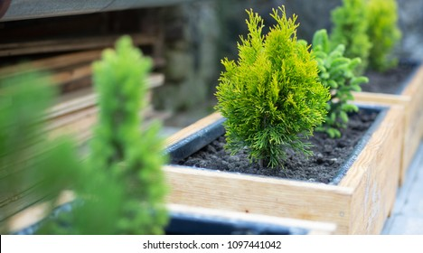 Beautiful green conifers in wooden pots. Miniature trees as an ornament on the terrace.