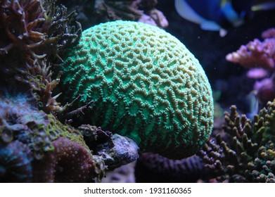 beautiful green coral head at a reef - Shutterstock ID 1931160365