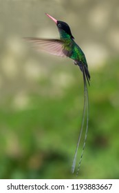 The beautiful green doctor bird or swallow tail hummingbird of Jamaica