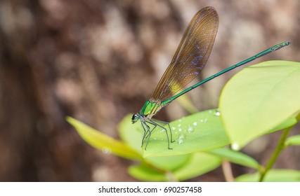 beautiful green dragonfly on leaf ,Vestalis gracilis