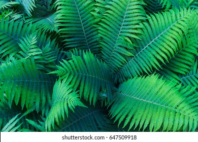 Beautiful green fern leaves in the forest. Background with natural ferns.