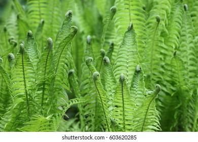 The beautiful green fern at spring garden