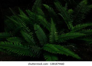 Beautiful green ferns in Muir Woods forest