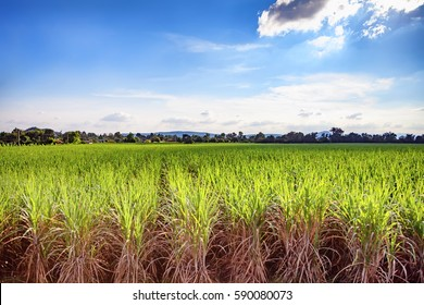 Beautiful green field of lush sugar cane growing and blue sky with light clouds., Soft focus due to long exposure shot.