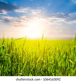 beautiful green field at the sunset
