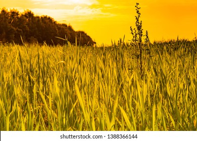 beautiful green fields of wheat in punjab pakistan ,landscape with sunset in background.