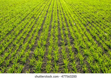 Beautiful green fields with young sprouts, spring agricultural landscape