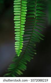 beautiful and green foliage natural Leaf of a boston fern (sword fern) plant.
