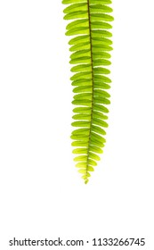 beautiful and green foliage. natural Leaf of a boston fern plant isolated on white background.