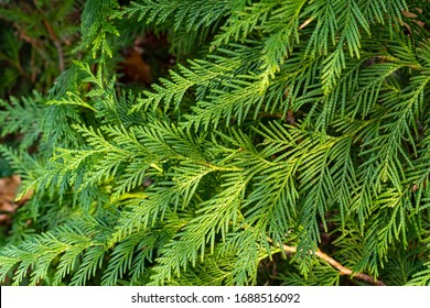 Beautiful green foliage on branch of folded thuja Kan-Kan (Thuja plicata Can – Can). Blurred background. Selective focus. Thuja plicata, Western Red Cedar or Pacific Red Cedar in landscape garden.