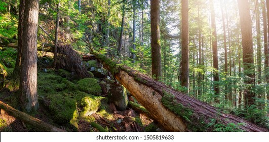 Beautiful green forest during a sunny summer evening. Taken in Squamish, North of Vancouver, British Columbia, Canada.