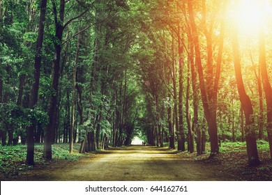 Beautiful green forest with high trees, road or path in summer sunset, magic landscape