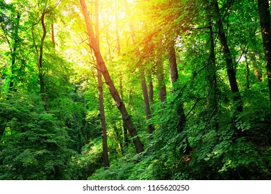 Beautiful green forest landscape at sunset