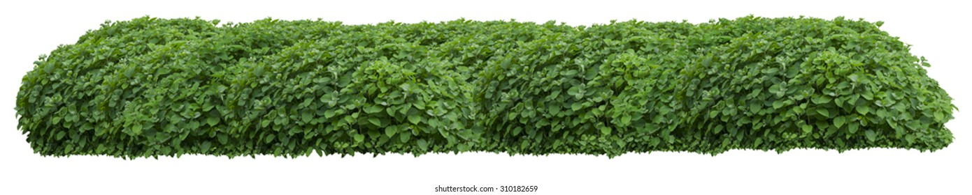 Beautiful green fresh ornamental wild hedge isolated on white background (very large)