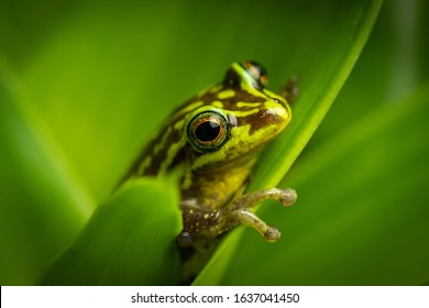 Beautiful green frog sitting and hiding on a leaf. Portrait of amazing animal, amphibian. Calmly sitting. Rain forest animal in its world. Colorful, wet and warm.