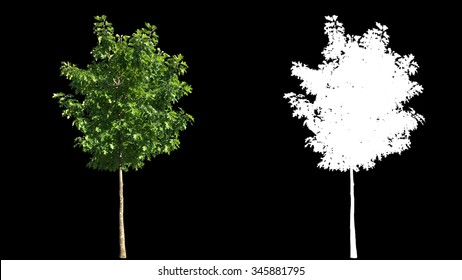 Beautiful green full size real tree isolated on alpha channel with black and white luminance matte, perfect for digital composition