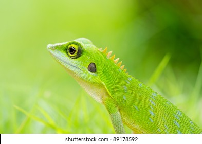 Beautiful green gecko lizard with grass background find something