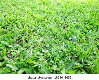 Beautiful green grass detais with some little clovers