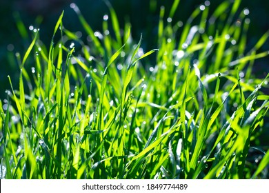 beautiful green grass with dew drops, shining bokeh under the rays of the sun, on a dark background.