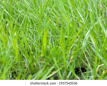 beautiful green grass on the backyard lawn