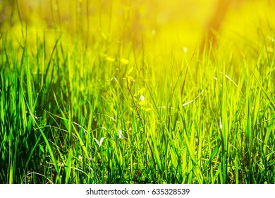 beautiful green grass in a rays of sun background