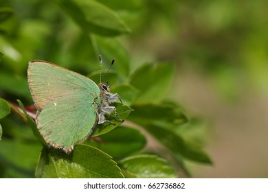 A beautiful Green Hairstreak Butterfly (Callophrys rubi) perched on a leaf.