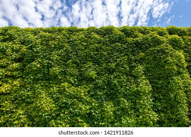 Beautiful green hedge fence with blue sky. - Shutterstock ID 1421911826