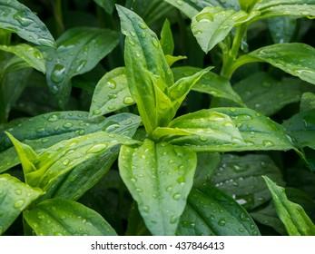 Beautiful green hosta after the rain