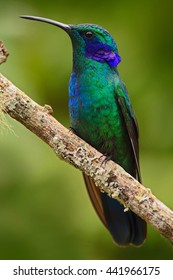 Beautiful green hummingbird with blue face. Green Violet-ear, Colibri thalassinus, Hummingbird with green leave in natural habitat, Costa Rica. Green bird with greennature background. Wildlife scene.
