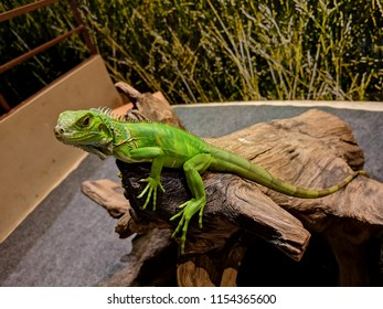 a beautiful green iguana