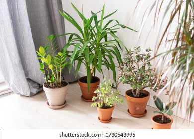 Beautiful green indoor Yucca aloifolia and Ficus benjamina Kinky flower, Ficus with Zamioculcas and Crassula ovata, home decorative plants on the background of a white wall