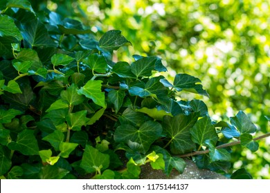 beautiful green ivy on a Sunny day