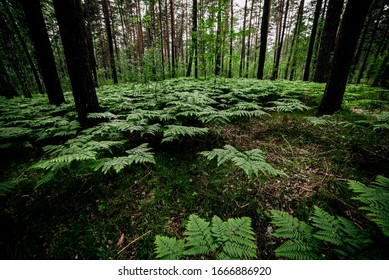 Beautiful green landscape with ferns in pine forest. Dense fern thickets in dark woods among pines and birches. Atmospheric scenery with rich greenery among trees. Many wild ferns in forest thicket.