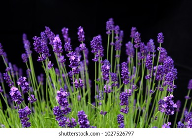 Beautiful green lavender group against black background