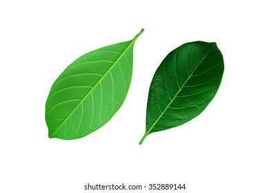 The beautiful green leaf