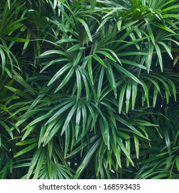 beautiful green leaf background of bamboo palm or lady palm
